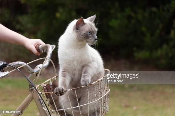 ragdoll cats - ragdoll cat stock pictures, royalty-free photos & images