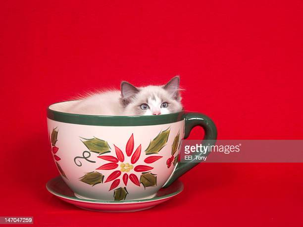 A ragdoll kitten sits inside of a tea cup on a red cloth background