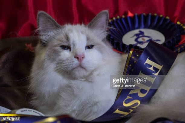 Ragdoll Jack is pictured after winning best in breed during the Supreme Cat Show on October 28 2017 in Birmingham England The oneday Supreme Cat Show...
