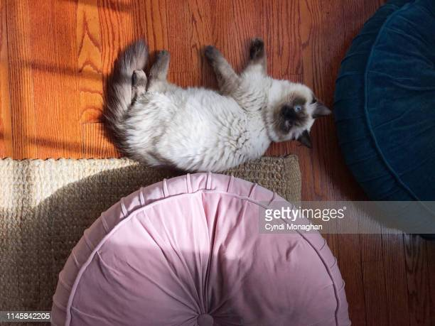 ragdoll kitten and giant pillows - ragdoll cat stock pictures, royalty-free photos & images