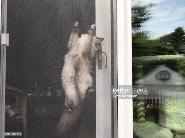 ragdoll kitten climbing a screen door - naughty america stock photos and pictures