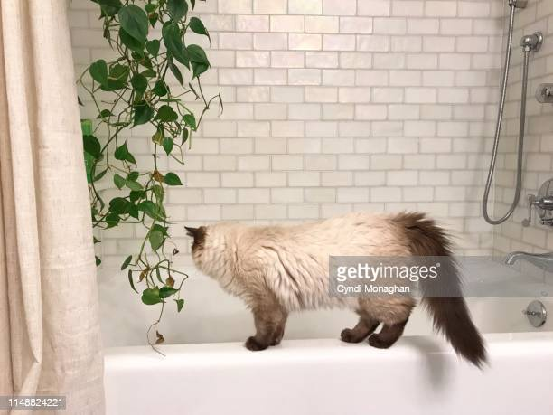 ragdoll kitten climbing on the edge of a bathtub - toilet planter stock pictures, royalty-free photos & images