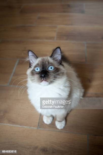 Ragdoll kitten looking up at camera