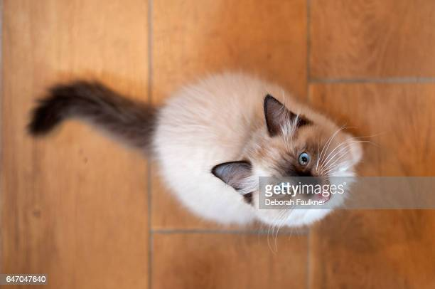 Ragdoll kitten looking up with mouth open