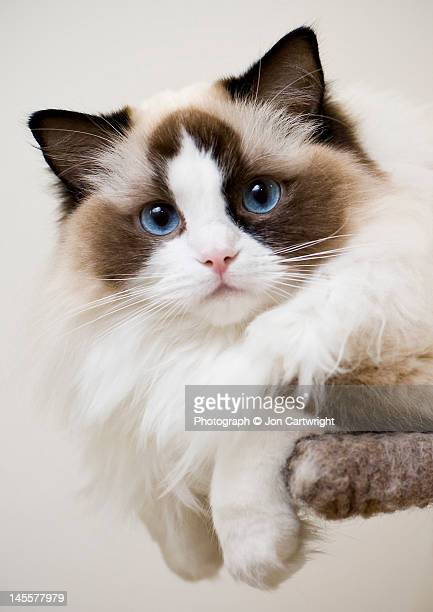 ragdoll kitten - ragdoll cat stock pictures, royalty-free photos & images