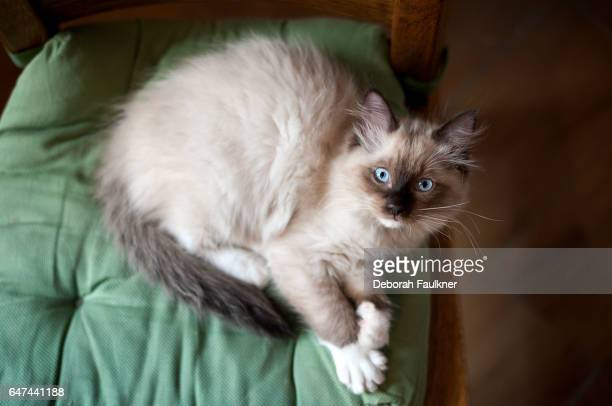 Ragdoll kitten sat on cushion