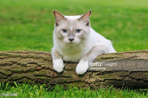 ragdoll, lilac tabby mitted solid, male lying on tree trunk, austria - ragdoll cat stock pictures, royalty-free photos & images