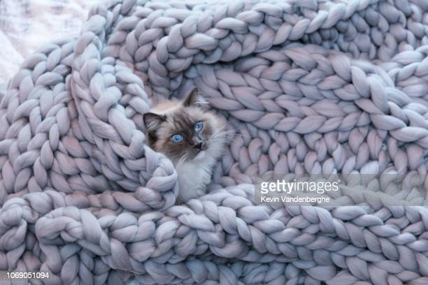 ragdoll on cosy wool blanket - ragdoll cat stock pictures, royalty-free photos & images