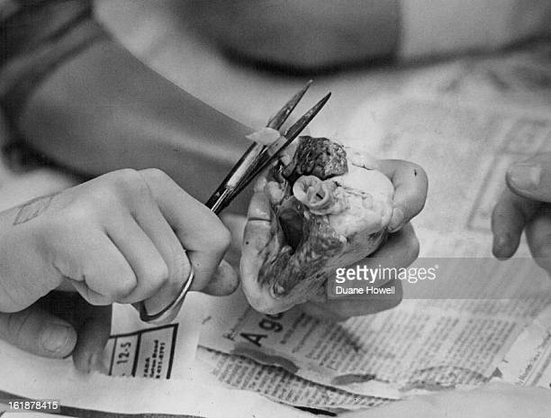 NOV 6 1973 NOV 29 1973 DEC 5 1973 Ragged ends of arteries and veins are snipped off as students at Wyco Elementary prepare to dissect a lamb's heart...