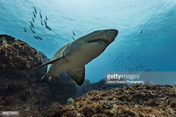 ragged tooth or sand tiger shark (carcharias taurus) cruising reefs, aliwal shoal, south africa - tiger shark stock photos and pictures