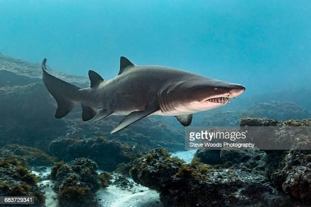 ragged tooth or sand tiger shark (carcharias taurus) cruising reefs, aliwal shoal, south africa - tiger shark - fotografias e filmes do acervo