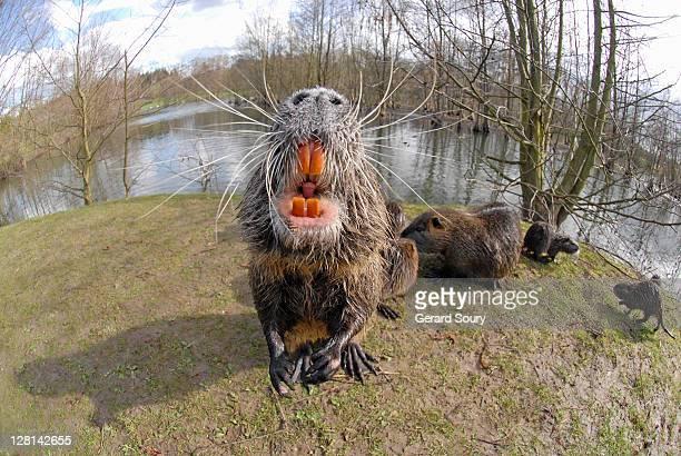 ragondin (myocastor coypu) baring teeth, ile de france, france - nutria foto e immagini stock