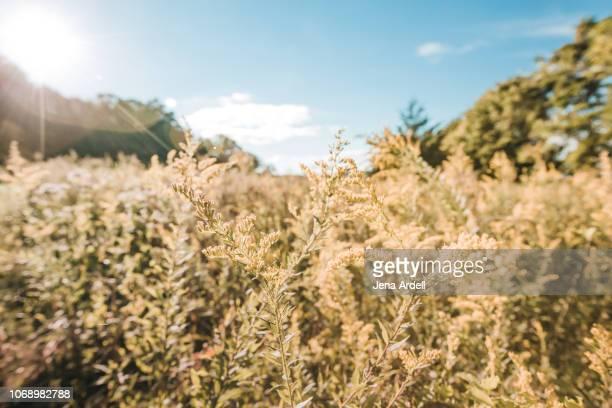 ragweed, allergy, allergen, allergy season, ragweed allergy, sunshine, warmth, nature, outdoors, landscape, landscape no people - ambrosia stock-fotos und bilder