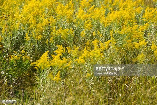ragweed flowers - ambrosia stock-fotos und bilder