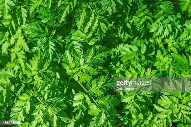 ragweed (ambrosia artemisiifolia) - ambrosia stock-fotos und bilder