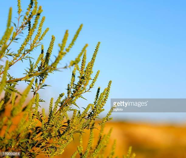 ambrosie plant - ambrosia stock-fotos und bilder