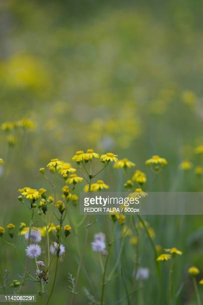 ragwort flowers - fedor stock pictures, royalty-free photos & images