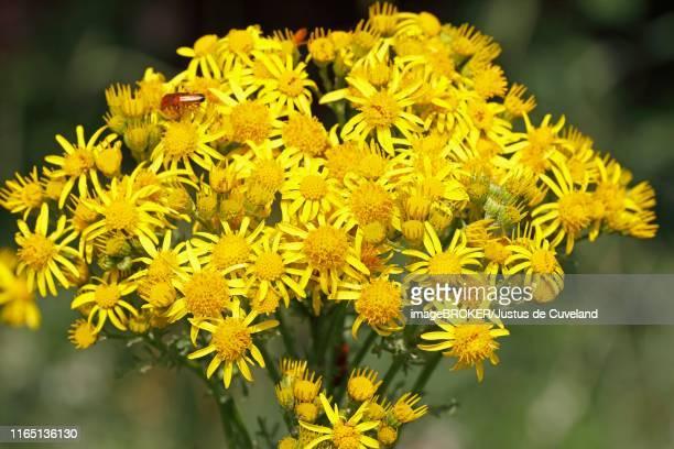 ragwort (senecio jacobaea), schleswig-holstein, germany - schleswig holstein stock pictures, royalty-free photos & images