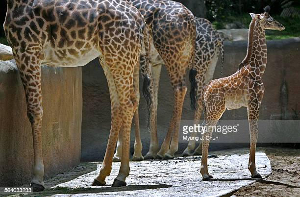 Raha a 6–foot–tall baby Masai giraffe that was born on April 4 debuted at the Los Angeles Zoo on Tuesday May 2 2006 The event coincides with the...