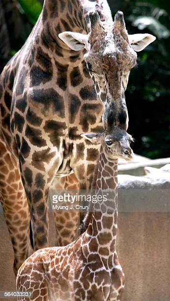 Raha a 6–foot–tall baby Masai giraffe that was born on April 4 gets a nuzzle from an adult at the Los Angeles Zoo on Tuesday May 2 2006 Raha's birth...