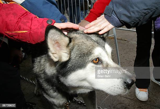Rahana an Alaskan Malamute gets some attention while waiting for some snow to pull a sled around at the Motown Winter Blast before Super Bowl XL on...