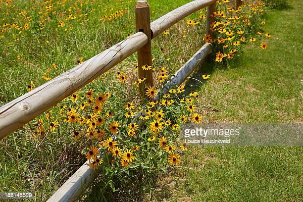 rail fence and black-eyed susans - ヒルトンヘッド ストックフォトと画像