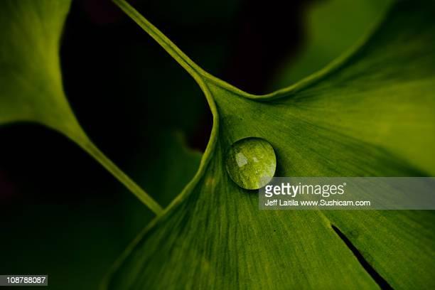 Rain drop on ginko leaf