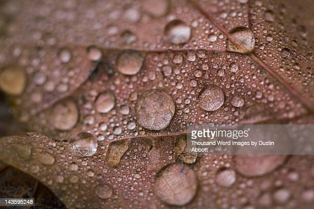 Rain droplets of maple leaf