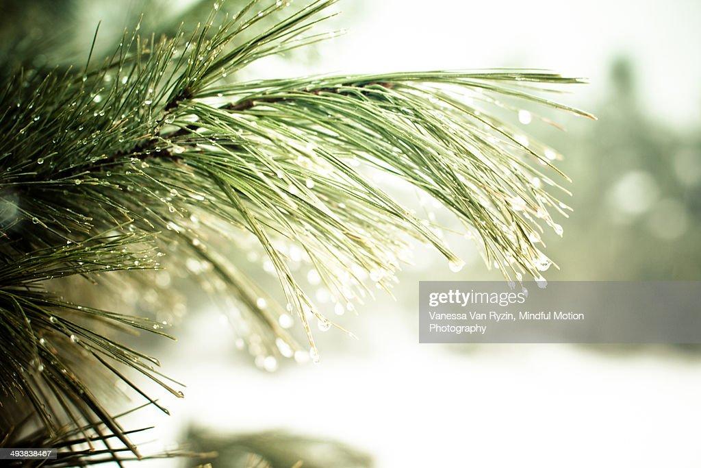 Rain Drops on Branch : Stock Photo