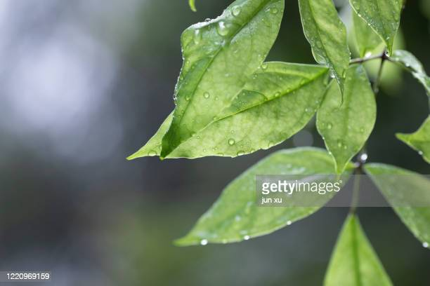 rain drops on green leaves - wet stock pictures, royalty-free photos & images