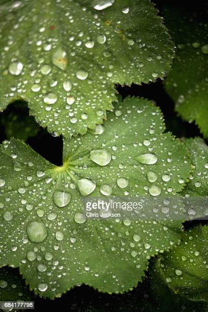 Rain drops on leaves during a visit by Prince Charles Prince of Wales at Kew Gardens on May 17 2017 in London England