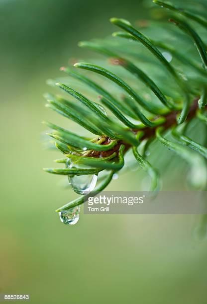 Rain drops on pine branch
