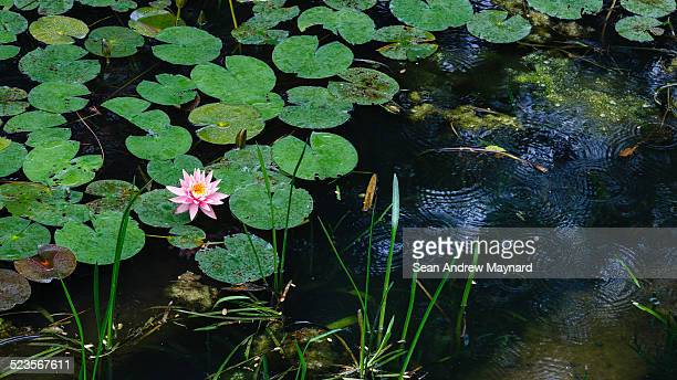rain falls on lily pond at wuhan botanical gardens - wuhan city stock photos and pictures