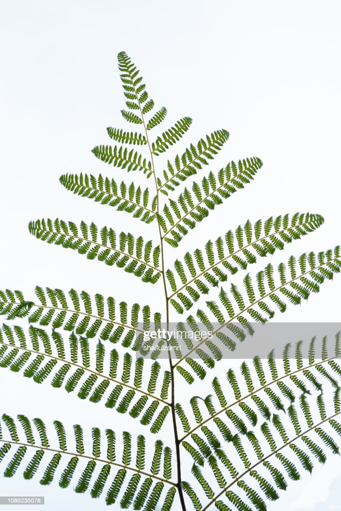 Rain forest fern isolated over white background : Stock Photo
