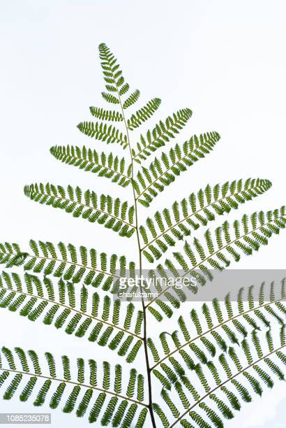 Rain forest fern isolated over white background