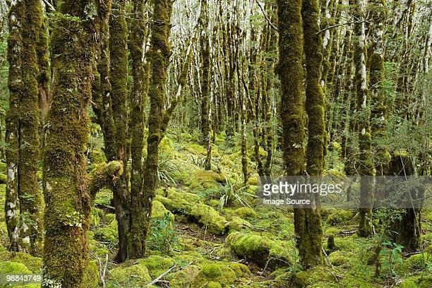 rain forest on Arthur's Pass