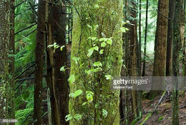 rain forest - foresta temperata foto e immagini stock