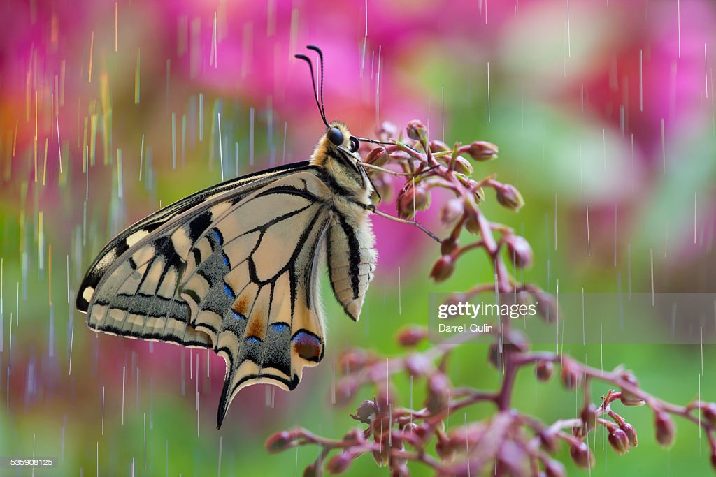 Rain on old world swallowtail butterfly : Stock-Foto