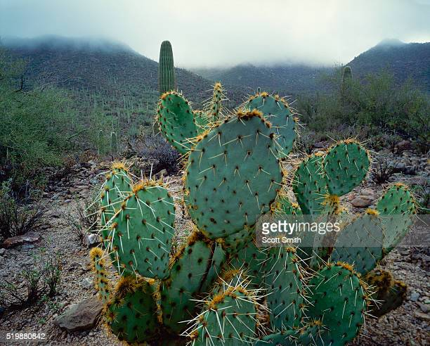 rain on the prickly-pear cactus - prickly pear cactus stock photos and pictures
