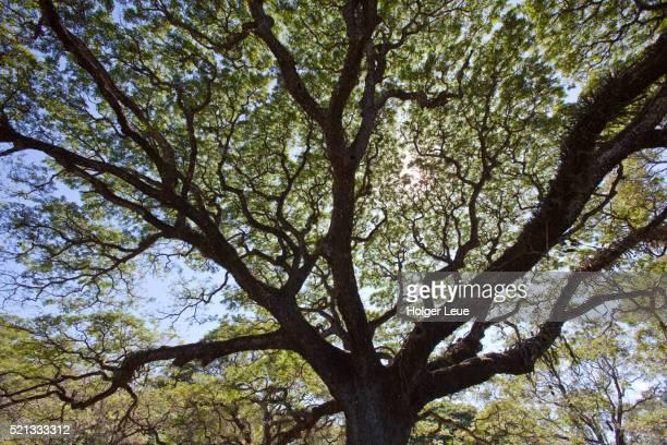 rain tree - parque nacional de santa rosa fotografías e imágenes de stock