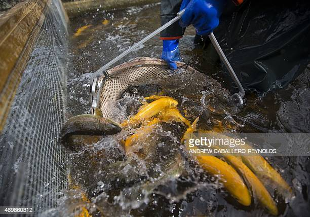 Rainbow and golden trout are caught in a net before being loaded onto a truck at the Albert Powell State Fish Hatchery in Hagerstown Maryland on...