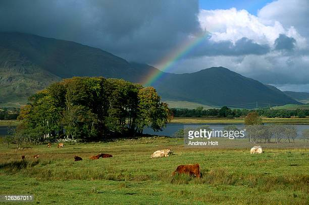 a rainbow arches over highland cattle grazing in fields surrounding loch awe. loch awe (scottish gaelic: loch obha) is a large body of water in argyll and bute, scotland. - pasture stock pictures, royalty-free photos & images