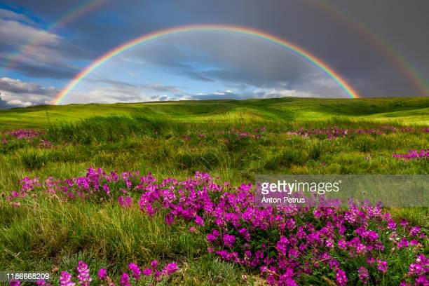 rainbow at sunset over wildflowers. summer landscape - spring stock pictures, royalty-free photos & images