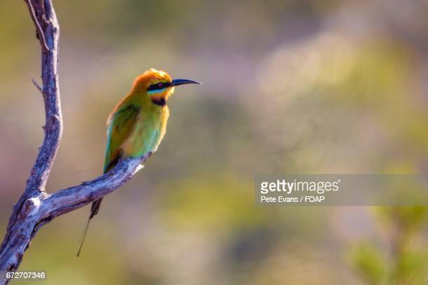 Rainbow bee-eater perching on branch