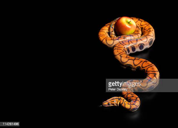 Rainbow boa constrictor squeezing apple