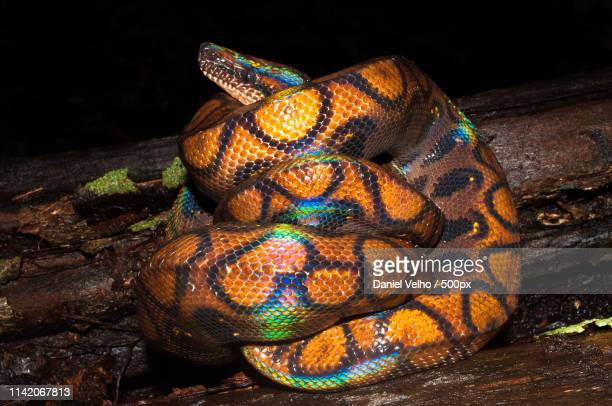 rainbow boa - boa stock pictures, royalty-free photos & images