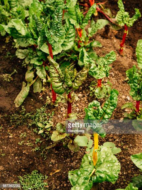 Rainbow chard grows inside the greenhouse at the Stone Barns farm in Pocantico Hills New York US on Friday April 21 2017 As customers are...