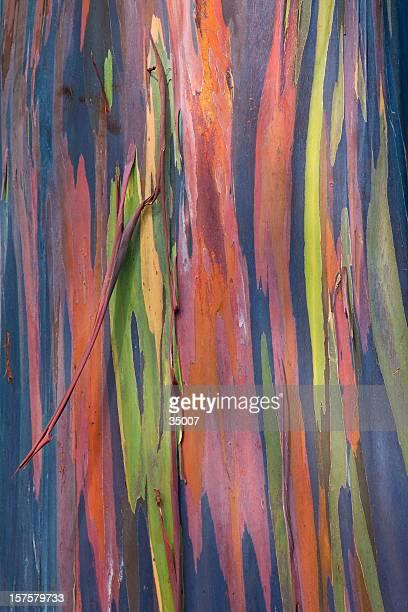 rainbow eucalyptus Écorce