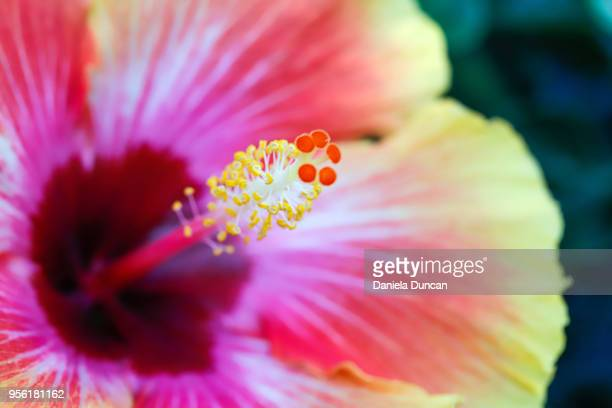rainbow hibiscus - hibiscus stock pictures, royalty-free photos & images