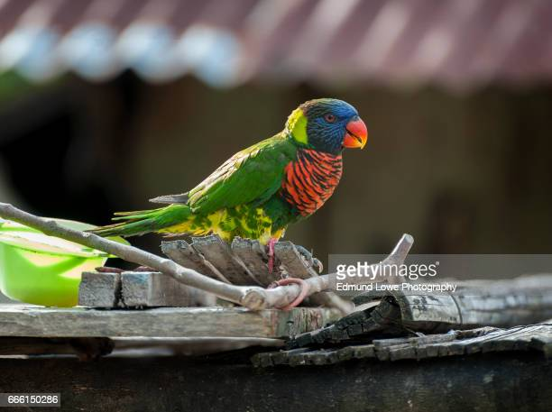 rainbow lorikeet, aduway village, misool island - raja ampat islands stock photos and pictures